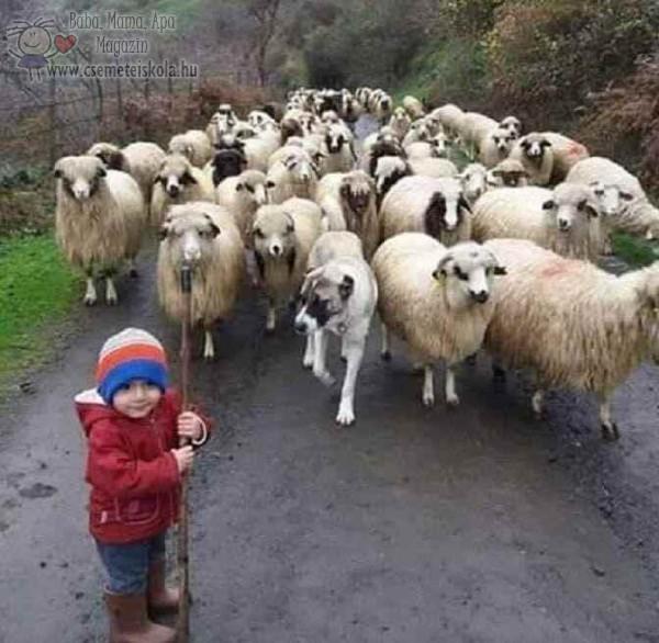 Kis pásztor gyerek